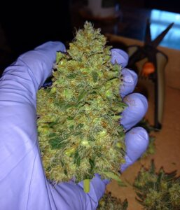 Day 77   Strawberry Cough  in hand flash