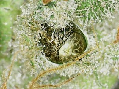 In vivo seed1