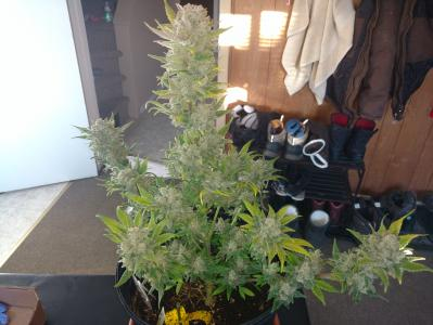 Crystalline Entity   Bulbous   full plant