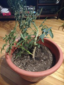 Dwarf Umbrella Tree (Schefflera arbicola) new growth
