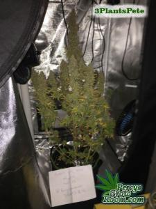 Cannabis Growers Forum POTM 3pp