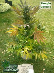 Cannabis Growers Forum POTM TG