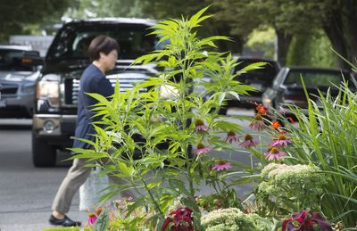 marijuana planterjpg