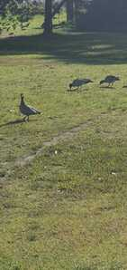 Local Ducks