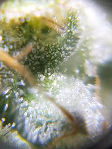Trichomes on a Cannabis plant2