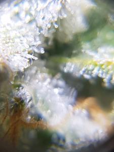 Cannabis Plant Trichomes